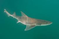 Grey Smoothhound Shark, Mustelus californicus, San Felipe, Sea of Cortez, Baja, Mexico.