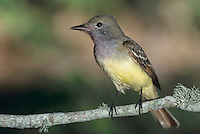 Great-crested Flycatcher, Myiarchus crinitus , adult, High Island, Texas, USA, May 2001