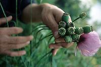 Fiori. Flowers. Papaveri. Poppies......