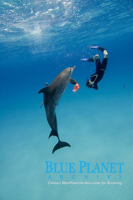 freediver, playing the Bandana Game with wild Atlantic Spotted Dolphins, Stenella frontalis, on Little Bahama Bank, Bahamas, Caribbean, Atlantic