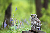 A fledgling Great Gray Owl, Strix nebulosa, pauses before testing his wings among lupines, in the Blue Mountains of Union County, Oregon.