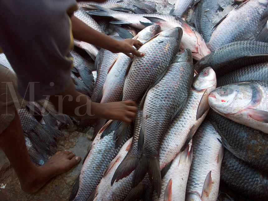 December, 2003 Fish in a fish market in the harbor of the Buriganaga river in Dacca, Bangladesh..