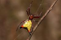 Female Arrowshaped Micrathena (Micrathena sagittata), Great Smoky Mountains National Park