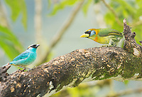 Female red-headed barbet, Eubucco bourcierii (right) and golden-naped tanager, Tangara ruficervix. Tandayapa Valley, Ecuador