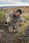 Andean Mountain Cat (Leopardus jacobita) biologist, Juan Reppucci, setting foot hold traps used for catching and collaring Andean cats, Abra Granada, Andes, northwestern Argentina