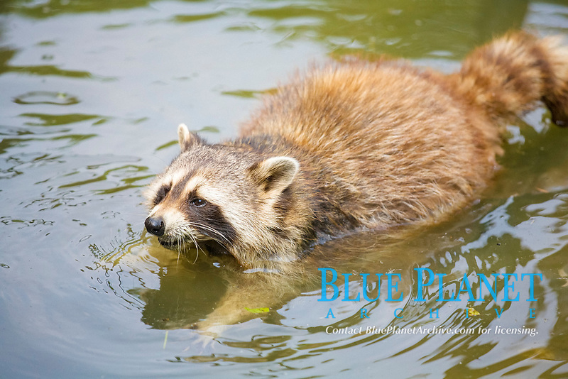 A racoon (Procyon lotor) in a pond of the Gelsenkirchen Zoo, North Rhine-Westphalia, Germany, Europe