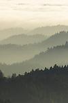 Coast Redwood (Sequoia sempervirens) forest in fog, Russian Ridge Open Space Preserve, Bay Area, California