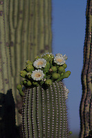 Saguaro Cactus Flowers seen in may, in southern Arizona.