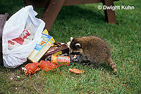 MA25-180z  Raccoon - young raccoon in garbage  looking for food - Procyon lotor