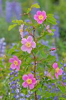 Woods' Rose, Western Wild Rose (Rosa woodsii) and lupine in ponderosa pine forest.  NE Washington, June.