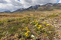 Ross and mountain aven wildflower landscape in the continental divide of the Brooks Range, Gates of the Arctic National Park, Alaska