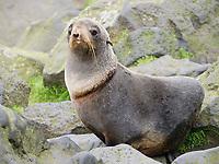 Northern fur seal, Callorhinus ursinus, female with scar from past entanglement, St Paul Island, Alaska