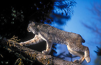 Lynx climbing fir tree. Autumn. North America. Felis lynx canadensis.