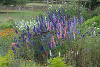 Lush flower cutting garden with half-hardy annuals larkspur delphinium in pink purple blue colours, bachelor buttons Centaurea cyanus, Calendual, sweetpeas climbing teepee Lathyrus odoraus, cosmos, Icelandic Poppies Papaever, Euphorbia, with homemade wire fence
