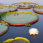Giant Water Lilies (Victoria amazonica). Lake near Cuiaba River, Northern Pantanal, Brazil.