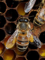 honeybees with pollen ball on comb full of pollen cells.