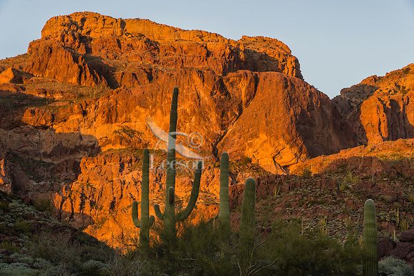 """Saguaro cactus and Ajo Mountains in late evening light, Organ Pipe Cactus National Monument, Ariz.  Late evening light, March.  This is a scene along the back road on the """"Ajo Mountain Drive."""""""