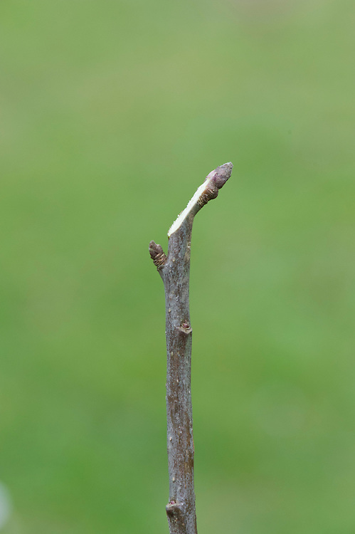 Cut too close and you will slice through the base of the bud, leaving a large surface area that will be slow to heal.