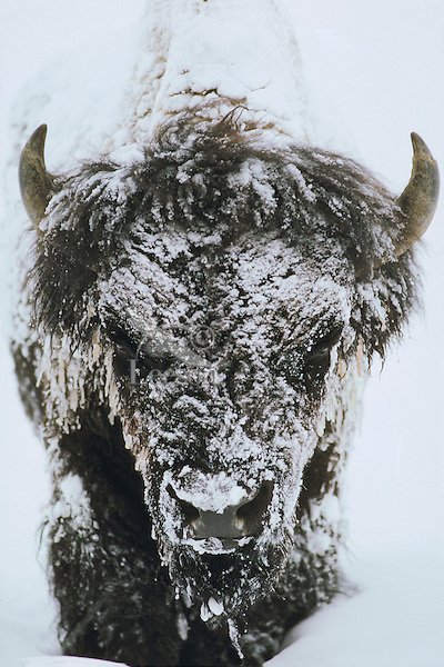 MB88  Bull Bison (Bison bison) in winter blizzard.  Western U.S.  (this was a minus 40 degree day).