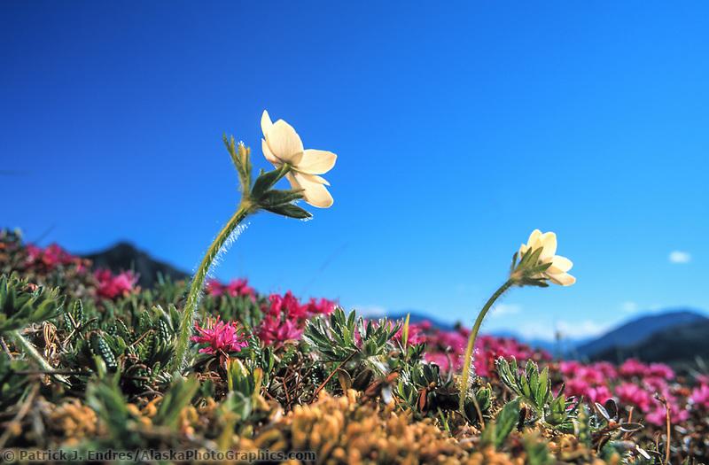 Wildflower meadow, Narcissus-flowered anemone and Lapland rosebay, Denali National Park, Alaska