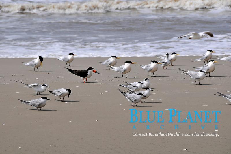 Seabirds at Wetland conservation area, Parque Nacional da Lagoa do Peixe, Mostardas, Rio Grande do Sul, Brazil