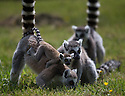 """16/05/16<br /> <br /> """"Hold on tight""""<br /> <br /> Three baby ring-tail lemurs began climbing lessons for the first time today. The four-week-old babies, born days apart from one another, were reluctant to leave their mothers' backs to start with but after encouragement from their doting parents they were soon scaling rocks and trees in their enclosure. One of the youngsters even swung from a branch one-handed, at Peak Wildlife Park in the Staffordshire Peak District. The lesson was brief and the adorable babies soon returned to their mums for snacks and cuddles in the sunshine.<br /> All Rights Reserved F Stop Press Ltd +44 (0)1335 418365"""
