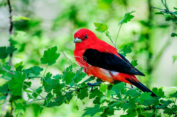 Male scarlet tanager (Piranga olivacea) with mites around eye. Great Lakes region. May.
