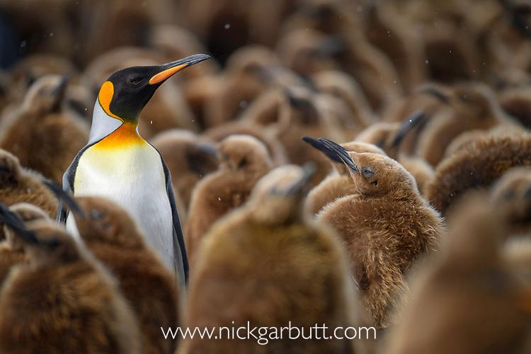Adult king penguin (Aptenodytes patagonicus) preening surrounded by immature chicks. Salisbury Plain, South Georgia, South Atlantic.