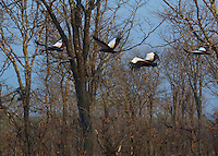Grey Crowned Crane flying in the  South Luangwa Valley, Zambia Africa.