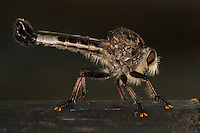 """""""Obi-Wan never told you what happened to your father"""" I ate em'! ;-)<br /> Giant Robber Fly from the """"dark side"""".."""