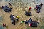 """Pictured: A group of elephants relax and lie down in a murky river as locals bathe alongside them.   The animals, part of a circus, are cleaned twice a week in the shallow waters of the Karatoa stream in Bangladesh.<br /> <br /> The images were captured by photographer Abdul Momin, who lives in nearby Bogra.  The 29-year-old said: """"Elephant mud baths are important as it protects their skin from being burnt by the harsh sun and from other infections.   SEE OUR COPY FOR DETAILS<br /> <br /> Please byline: Abdul Momin/Solent News<br /> <br /> © Abdul Momin/Solent News & Photo Agency<br /> UK +44 (0) 2380 458800"""