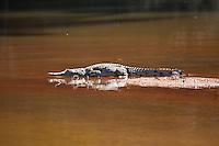 Fresh Water Crocodile, Mary River, Kakadu NP, NT, Australia