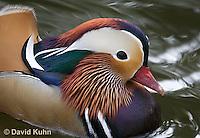 0310-1012  Drake (Male) Mandarin Duck, Aix galericulata  © David Kuhn/Dwight Kuhn Photography.