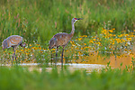 Sandhill cranes (adult and colt) walking in a wetland as they get a drink of water.