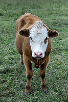 Cow making eye contact.