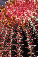 Europe/Espagne/Canaries/Lanzarote/Guatiza : Le jardin de cactus conçu par Cesar Manrique - Ferocactus stainesii