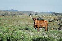 Longhorn Cow, Witchita Mountains National Wildlife Refuge, Oklahoma