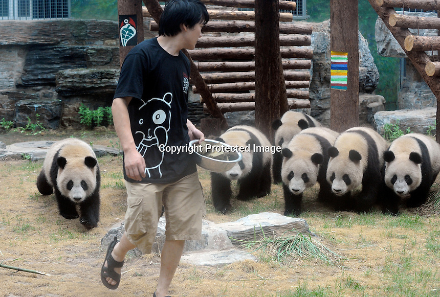 "Pandas that were brought from the damaged Wolong panda reserve to Beijing chase a panda keeper who has some of their favourite food ""panda biscuits"" made from rice, bamboo and a variety of nutrients, 16th august 2008.   Eight tramatised one and two year-old  pandas were brought from Wolong to Beijing for recuperation and have been placed in aan Olympic Panda exhibition at Beijing zoo and are recieving unprecadented number of visitors. <br />