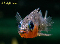 1S14-554z  Male Threespine Stickleback, Mating colors showing bright red belly and blue eyes, close-up of face, Gasterosteus aculeatus,  Hotel Lake British Columbia