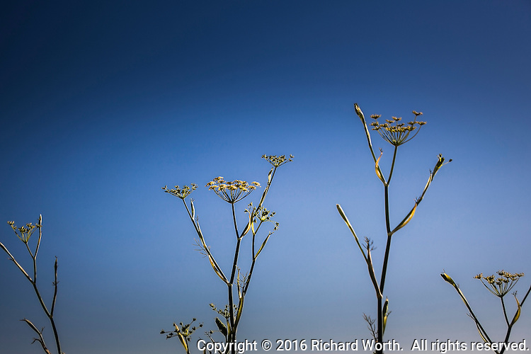 Yellow umbrella-shaped flowers along a path at MLK Regional Shoreline in Oakland, CA, appear to raise arm-like stems to the sky.