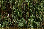 Great Egret (Ardea alba), Kinabatangan River, Sabah, Borneo, Malaysia
