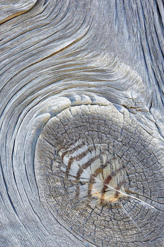 Great Horned Owl feather on barn board. Summer Lake State Wildlife Refuge. Oregon