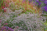 Symphyotrichum lateriflorum 'Lady in Black' Calico Aster (aka Aster lateriflorus Michaelmas Daisy) flowering in autumn mixed border at Denver Botanic Garden with Persicaria amplexicaulis 'Firetail', Red Bistort