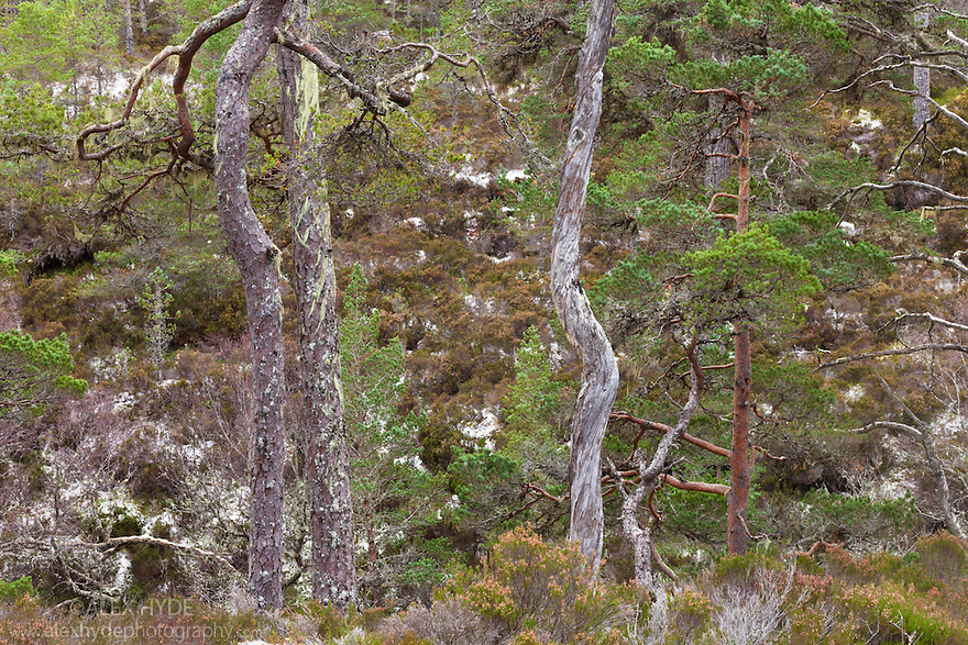 Scots Pines {Pinus sylvestris}, Glen Affric, Caledonian Forest Reserve, Scotland, UK , November.