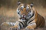 Bandhavgarh National Park, India; 17 months old Bengal tiger cub lying on creek bank, early morning, dry season