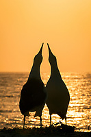 Laysan albatross, Phoebastria immutabilis, couple sky-pointing during courtship at sunset, Sand Island, Midway Atoll, Midway National Wildlife Refuge, Papahanaumokuakea Marine National Monument, Northwestern Hawaiian Islands, Hawaii, USA, Pacific Ocean