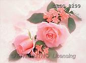 Ron, WEDDING, photos, 2 pink roses(GBSG8299,#W#) Hochzeit, boda