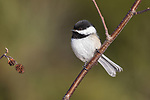 Black-capped chickadee perched in a speckled alder tree.