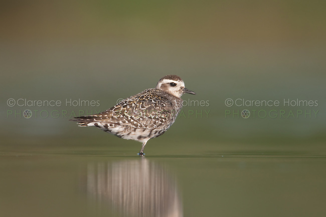 American Golden-Plover (Pluvialis dominica) - molting adult, East Pond, Jamaica Bay Wildlife Refuge