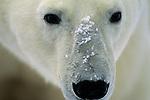 A portrait of polar bear in Canada.